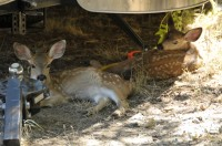 fawns under airstream - detail